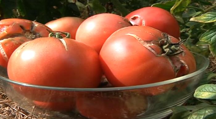 Ortu lehiaketa, Aretxabaletako Tomatearen Astean