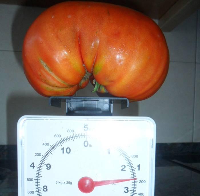 Untzillako lurretako tomatetzarra
